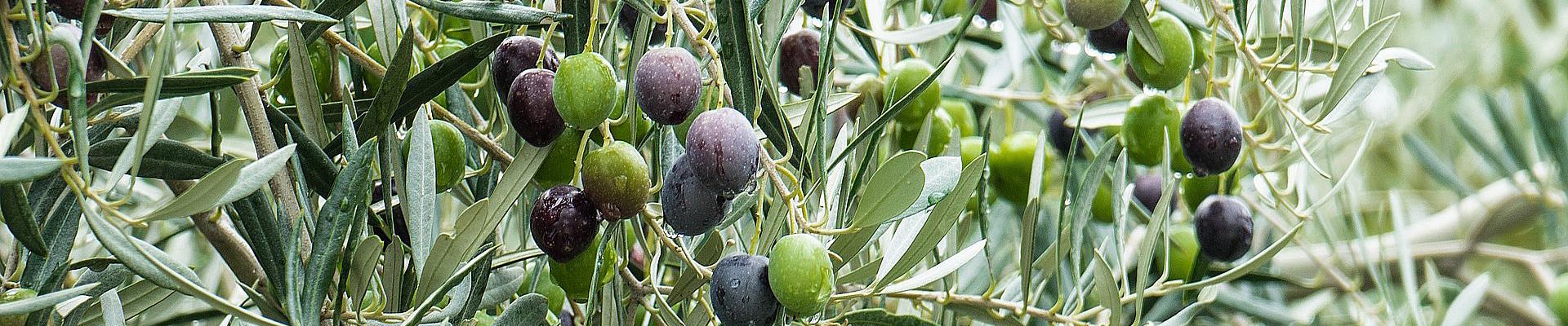 almasol-olivenöl-slider-1